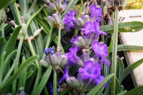 Levendula virág