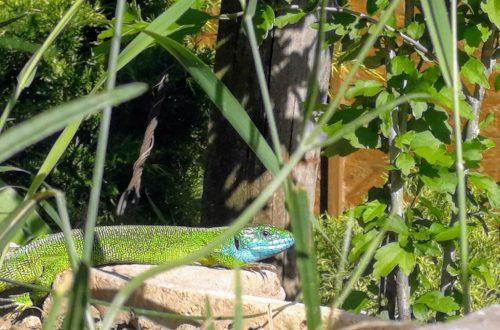 Kéknyakú zöld gyík