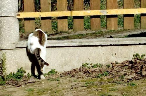 Kijárós macska